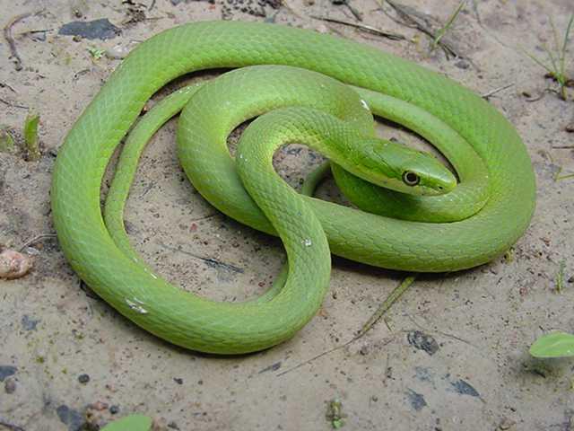 Rough Green Snake in Eastern Ghats