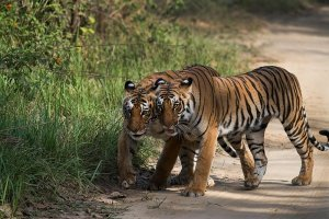 Tigers enjoying in Jim Corbett