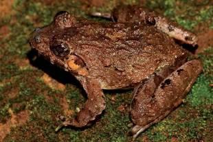 Frog in Eastern Ghats