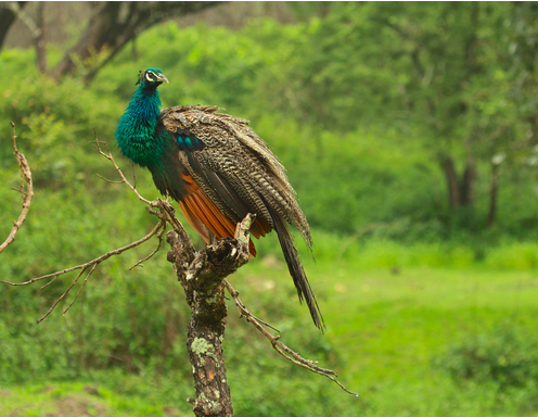 fauna in Bandipur