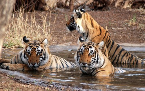 Taking water bath by tigers in Jim Corbett