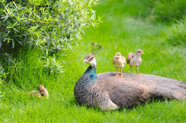 Peahen with babies