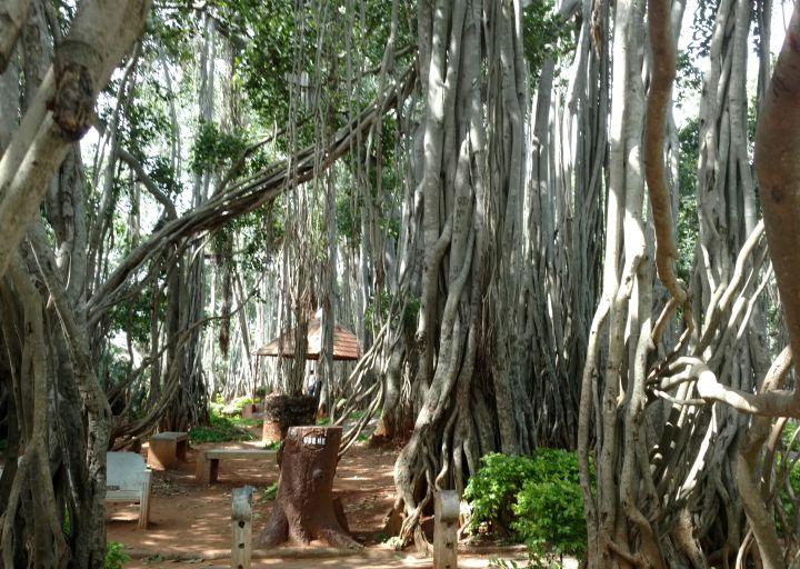Big Banyan tree (dodda alada mara)