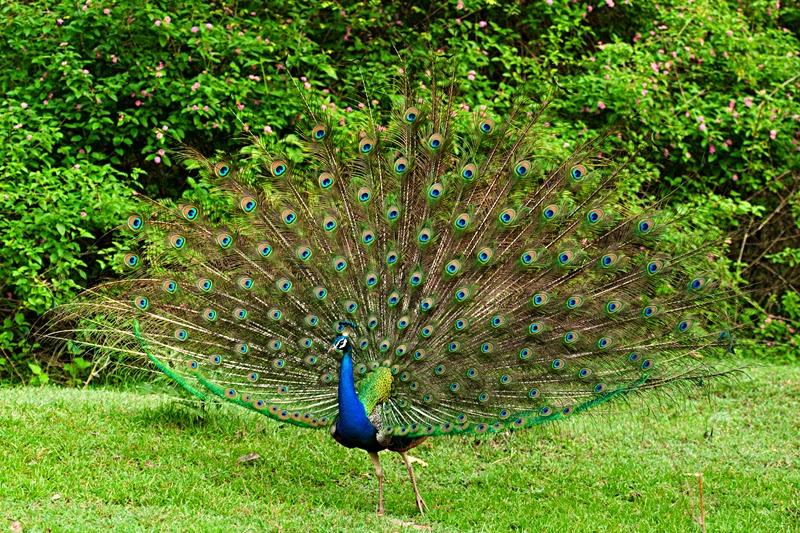 National Bird of India- Indian Peacock