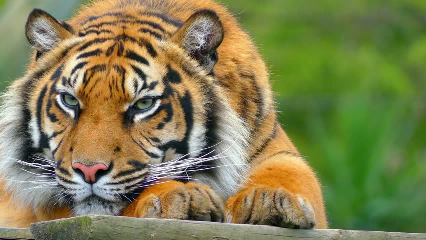 National animal of India