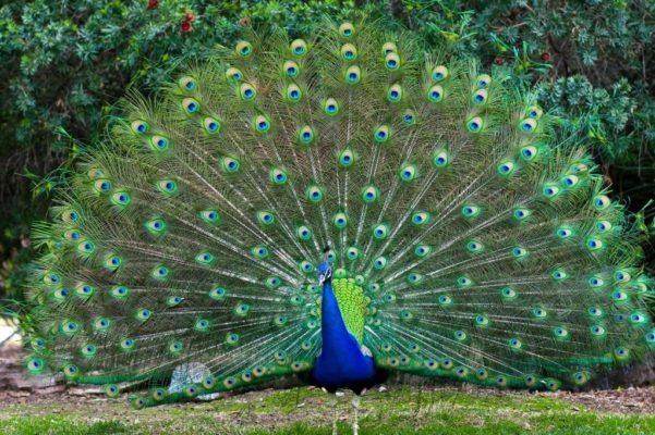 Peacock National Bird of India