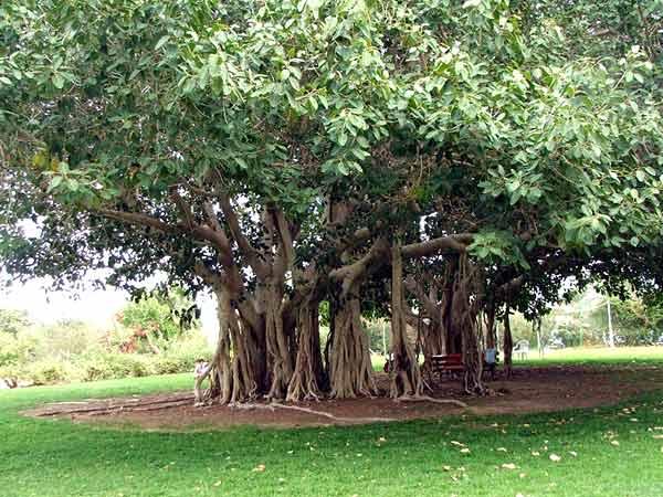 Banyan tree National tree of India