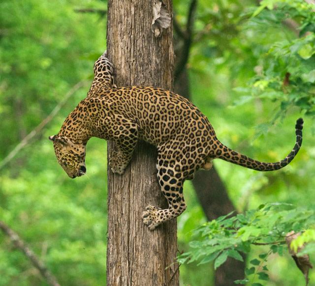 Leopard in Deccan plateau