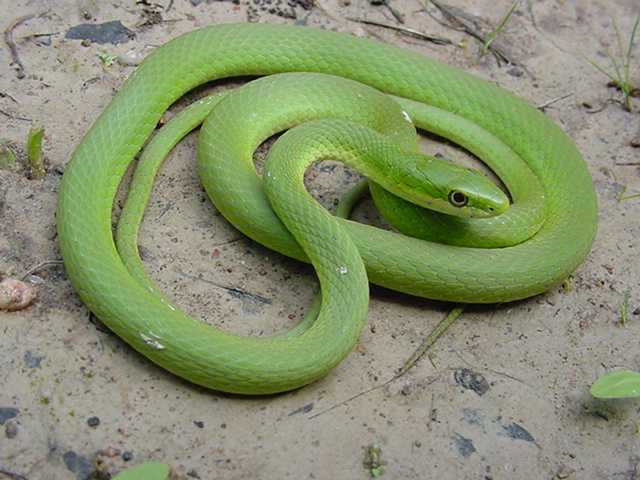 Rough Green Snake in Eastern Ghats