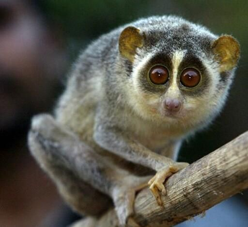 Slender Loris in Eastern Ghats