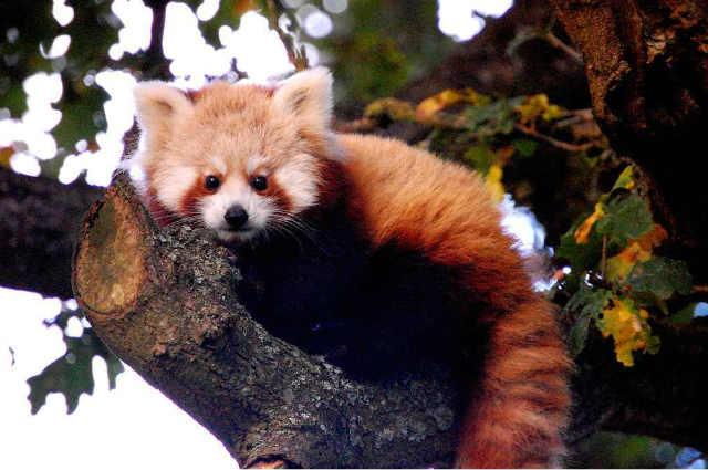 Fauna at Kanchenjunga