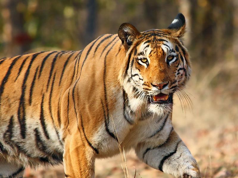 Tigers at Nilgiri Biosphere Reserve