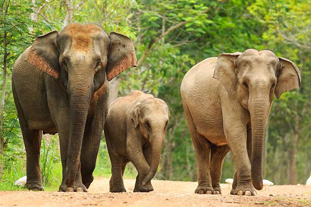 Majestic Elephants at Nilgiri Biosphere Reserve