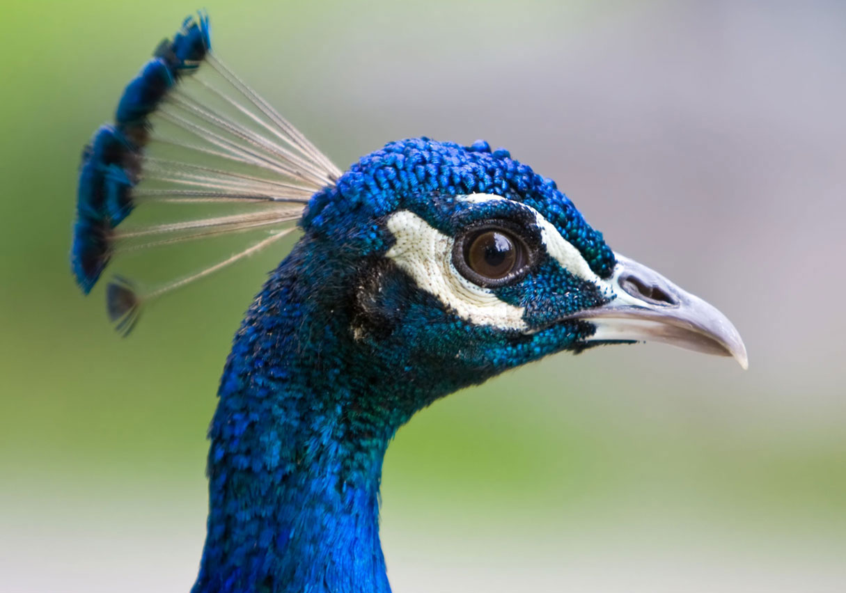 Indian peacock face