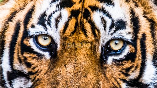 Eyes of Royal Bengal tiger