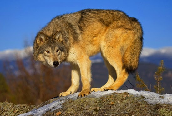 The cunning wolf
