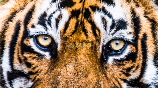 Eyes of Royal Bengal tiger