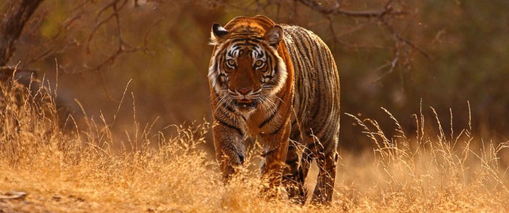 Tiger National Animal of India